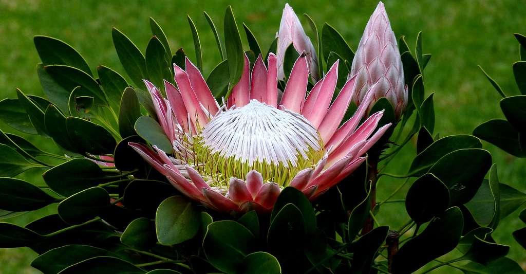 Protea Afrique du Sud. © Falco, DP