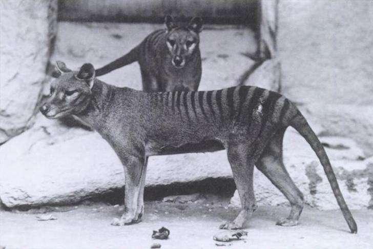 Le tigre de Tasmanie, un mammifère marsupial qui ressemble étonnamment à un chien. © Domaine public