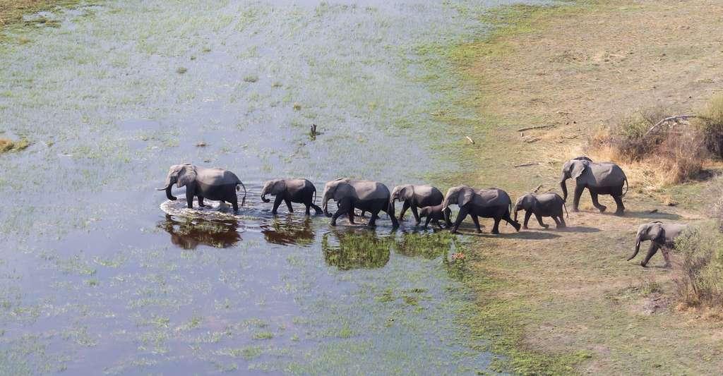 Le delta de l'Okavango est le deuxième plus grand delta intérieur au monde. Il abrite aussi la plus importante population d'éléphants au monde, sans doute grâce à une interdiction de leur chasse depuis 2014. Mais, en 2019, revirement de situation. L'interdiction a été levée. Après que la pandémie de Covid-19 a empêché la saison 2020 d'avoir lieu, la chasse à l'éléphant s'est ouverte ce mardi 6 avril 2021. © michaklootwijk, Adobe Stock