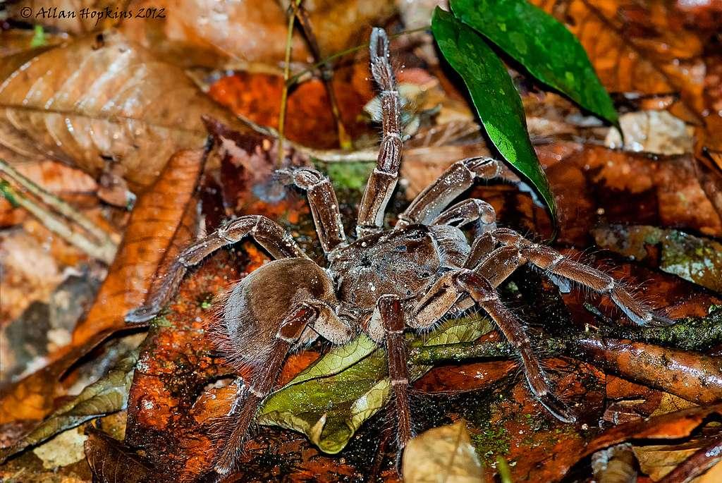 La mygale de Leblond figure parmi les plus grandes espèces d'araignées connues. © Hoppy1951, Flickr, cc by nc nd 2.0