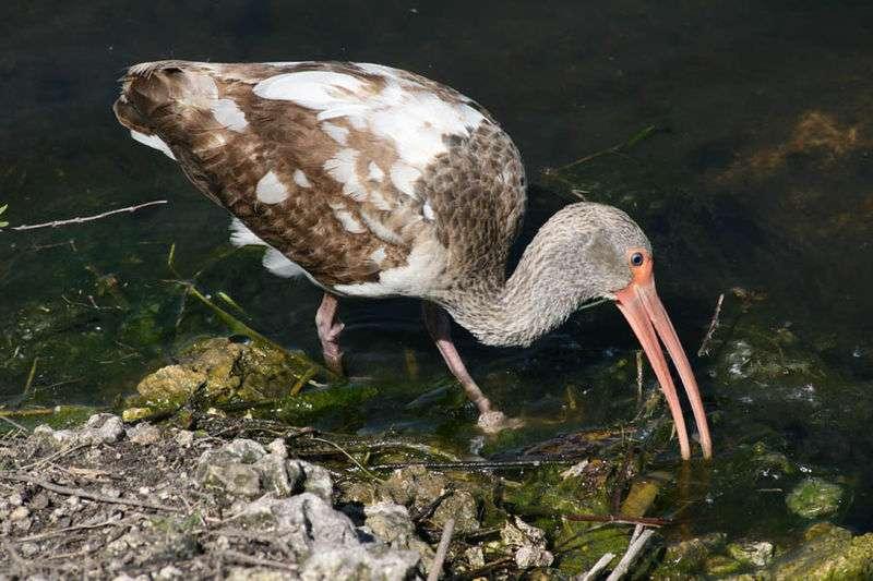 Juvénile d'ibis blanc dans le Parc national des Everglades, en Floride. © Katka Nemcokova, CC BY-SA 3.0