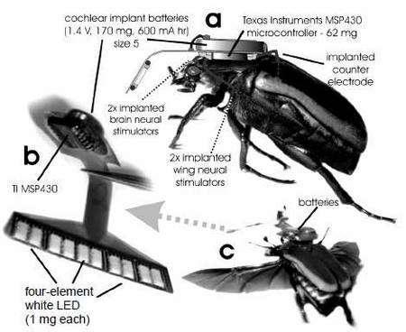 Le Cyborg beetle et ses implants. La photographie a montre le contrôleur Texas Instruments MSP 430 (qui mesure 3 x 3 x 1 mm et pèse 62 mg). Il est alimenté par une pile minuscule, d'un modèle utilisé pour les implants cochléaires. Avec ses 170 mg, c'est l'élément le plus lourd. Cet ensemble est relié aux électrodes enfoncées dans le corps de l'animal ainsi qu'à un stimulateur visuel (visible sur l'image b), portant quatre diodes blanches. Le coléoptère en vol (c) doit porter près de 240 mg... © MEMS 2008/Technical Digest