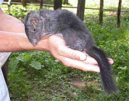 Laonastes aenigmamus, rat des rochers. Crédit WWF