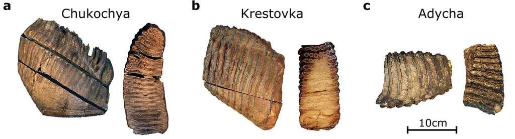 Les trois molaires de mammouth analysées. La plus ancienne, Krestovka, daterait de 1,2 million d'années. © Love Dàlen et al, Nature, 2021