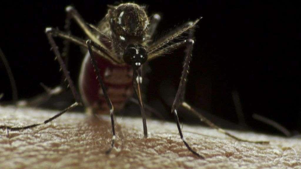 Les moustiques du genre Aedes attrapent le virus de la dengue en piquant un Homme infecté. En allant sucer le sang d'une autre victime humaine, l'insecte dissémine le parasite. Ce virus est le plus meurtrier de ceux transmis par des moustiques. © Sanofi Pasteur, Flickr, cc by nc nd 2.0