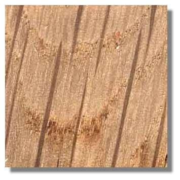 Figure 16. Coupe longitudinale tangentielle de bois de chêne. Le bois a été mouillé. Les rayons sont sectionnés perpendiculairement à la direction de leurs éléments ; ils apparaissent foncés. Le reste de la coupe constitué de vaisseaux et fibres longitudinaux apparaît clair. La coupe n'étant pas parfaitement longitudinale, le bois de printemps de deux cernes (gros vaisseaux) apparaît sous forme d'arceaux plus foncés. © Photo R. Prat