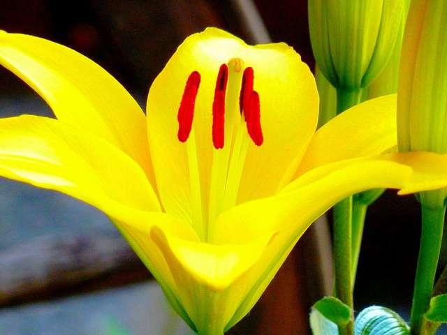 Naturellement, le lys peut être blanc, orange, rose ou jaune. Après une modification génétique, il existe désormais des lys bleus. © gelinh, Flickr CC by nc-sa 2.0