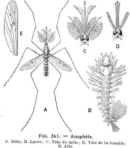 Anophèle, dessins de 1921. © Larousse agricole