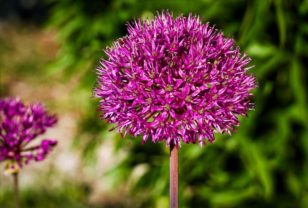 L'ail d'ornement (allium). © Thomas Hassel, Flickr