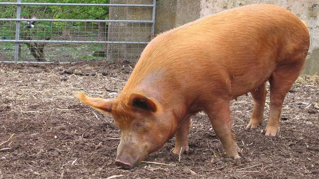 Le cochon de Tamworth