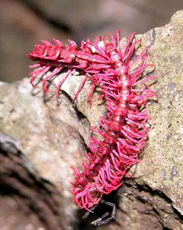 Desmoxytes purpurosea, le mille-pattes dragon. Attention à son cyanure. Crédit WWF