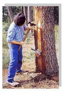 """A l'aide du hapchòt, le résinier effectue les """"piques"""" qui formeront la """"carre"""", le long de laquelle la résine s'écoulera jusqu'au pot placé en contrebas.© Claude Courau """"Le gemmage en forêt de gascogne"""""""