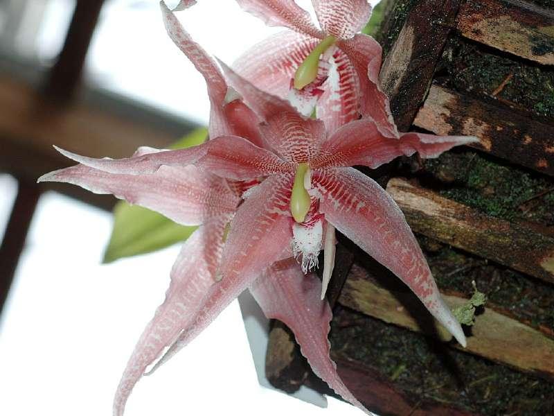 Orchidée Paphinia herrerae