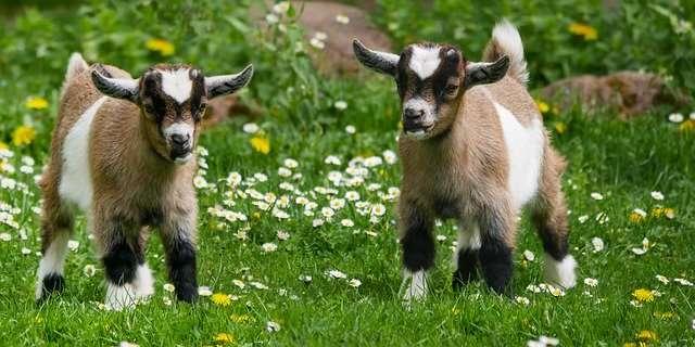 Les ruminants (bovins, ovins, caprins) émettent du méthane par éructation. © Blende12, Pixabay, DP
