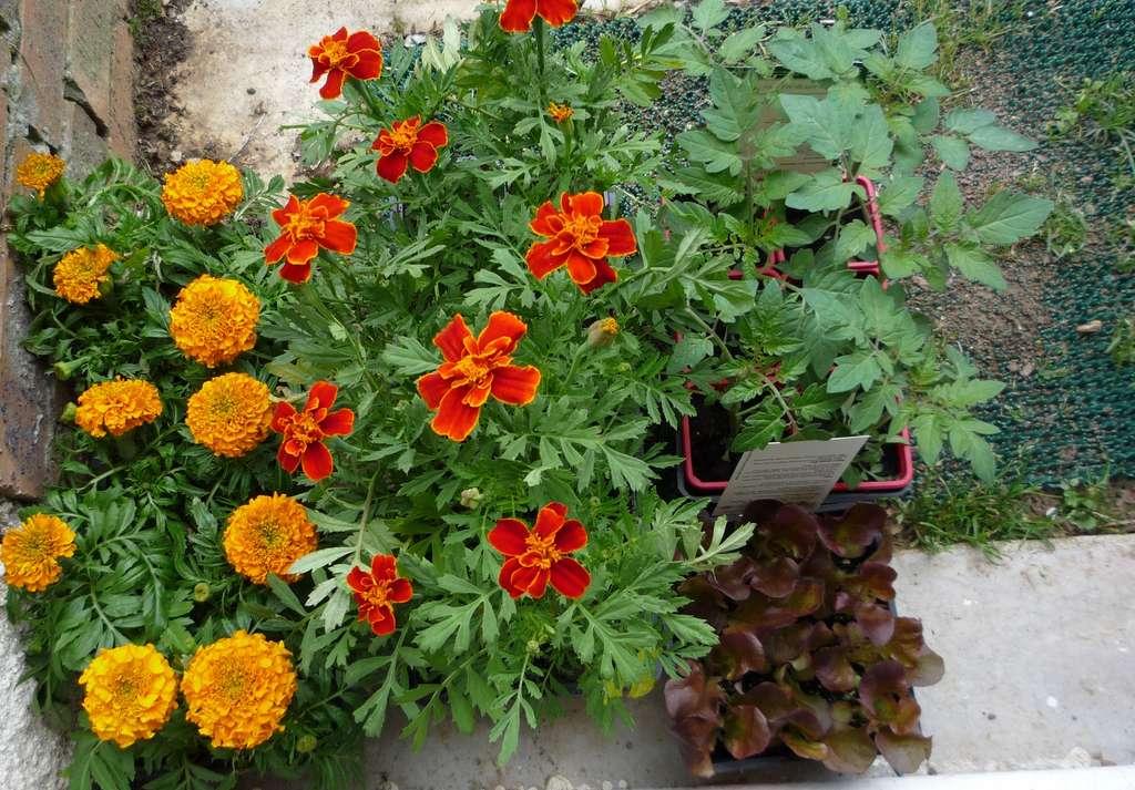 Achats de godets de plantes annuelles : œillets d'Inde variés et tomates. © S.Chaillot