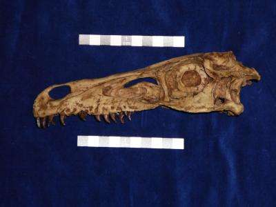 Velociraptor mongoliensis, ce prédateur redoutable, chassait probablement la nuit. © Lars Schmitz, UC Davis