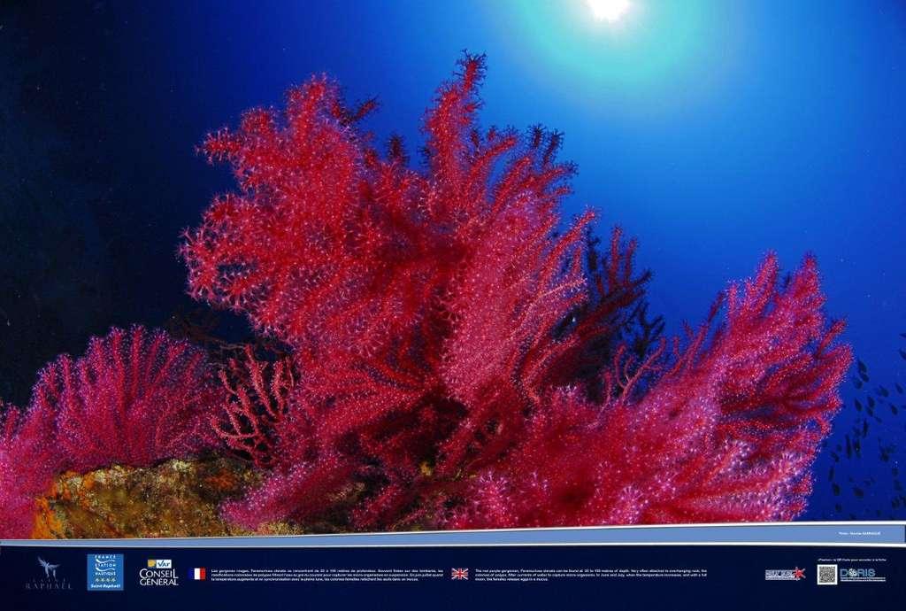 Des gorgones rouges étincelantes