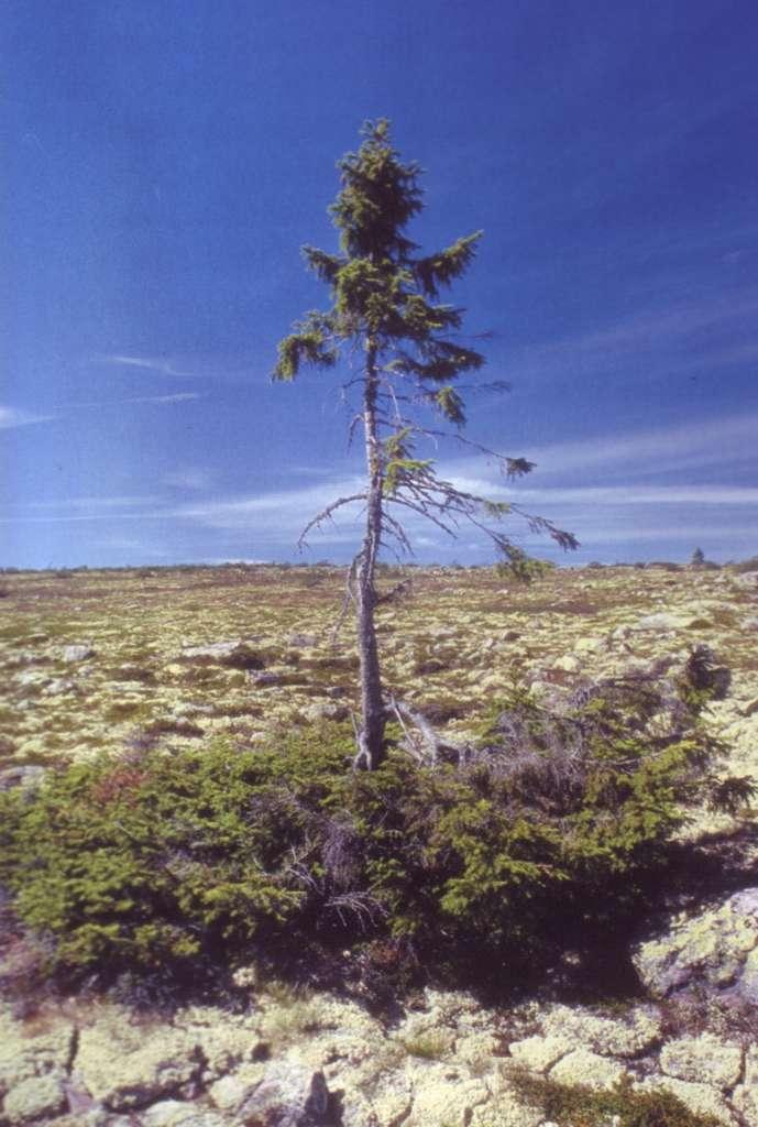 Baptisé le vieux Tjikko, cet arbre est un épicéa (Picea abies) de Suède âgé de plus 9.550 ans. © Leif Kullman