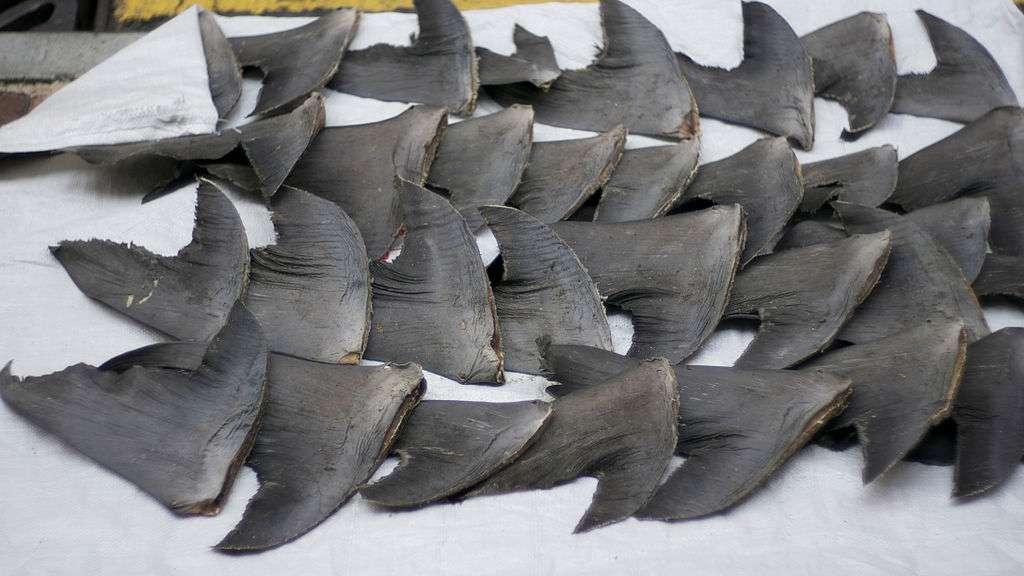Nombreuses sont les espèces de requins de plus de 1,5 m de longueur victimes du shark finning, une technique de pêche qui consiste à ne leur prélever que l'aileron et à les rejeter en mer encore vivants. Plus de 85 pays, développés ou en développement, exportent des ailerons séchés, la plupart transitent par les États-Unis pour être envoyés vers le marché chinois. © Cloneofsnake, Wikimedia Commons, cc by sa 2.0