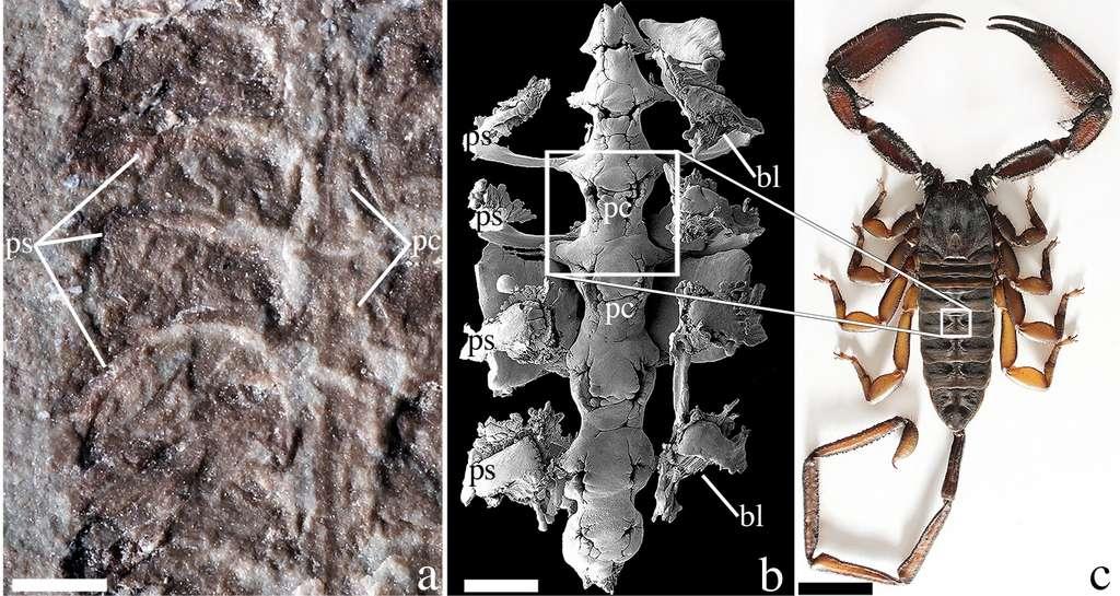 Parioscorpio venator mesure 2,5 cm de long et possède plusieurs caractéristiques du scorpion moderne (à droite), comme un dard, une vésicule à venin et un système respiratoire adapté à la respiration de l'air. © Andrew Wendruff