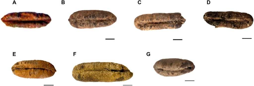 La morphologie des six graines de dattes étudiées. © Sarah Sallon et al. Science Advances