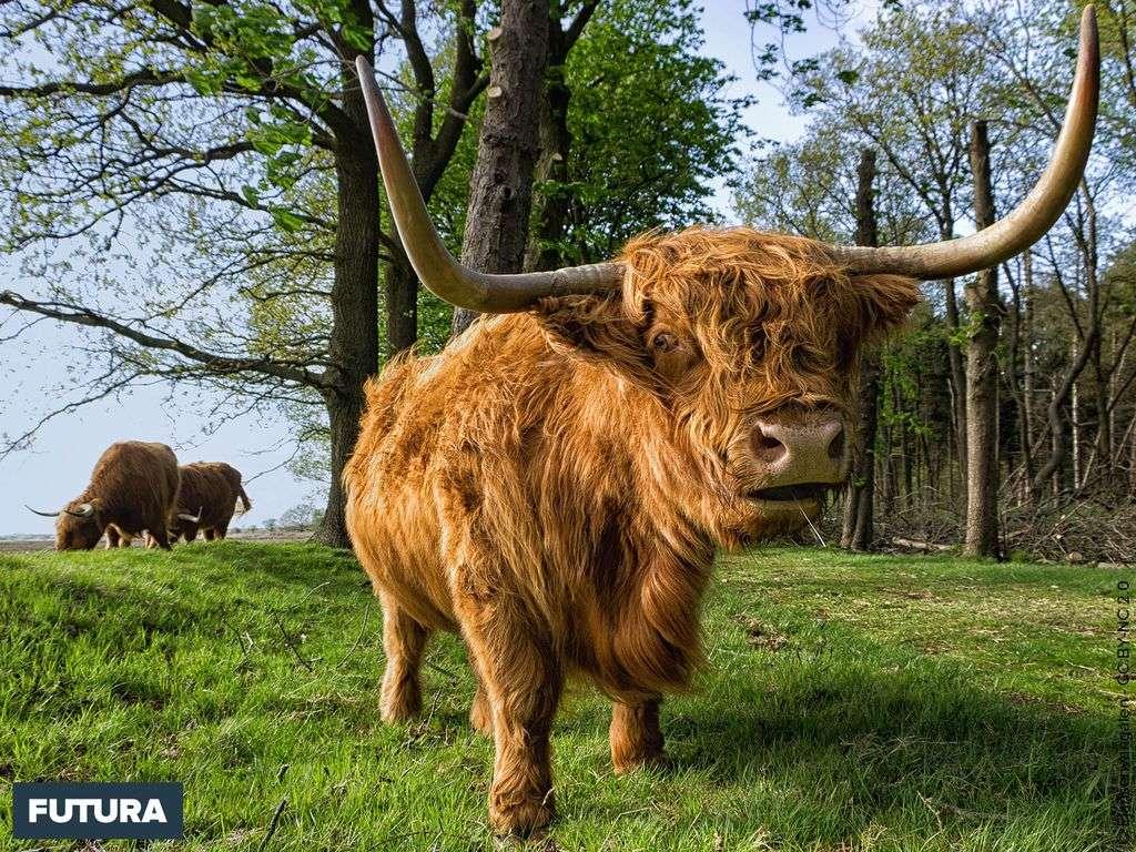 Highland vache d'Ecosse