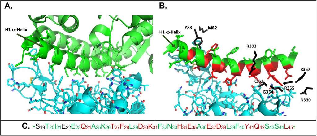 En vert, la structure en hélice de la partie N-terminale de ACE 2 et, en bleu, la protéine spike du coronavirus. © Philippe Karoyan et al. bioRxiv