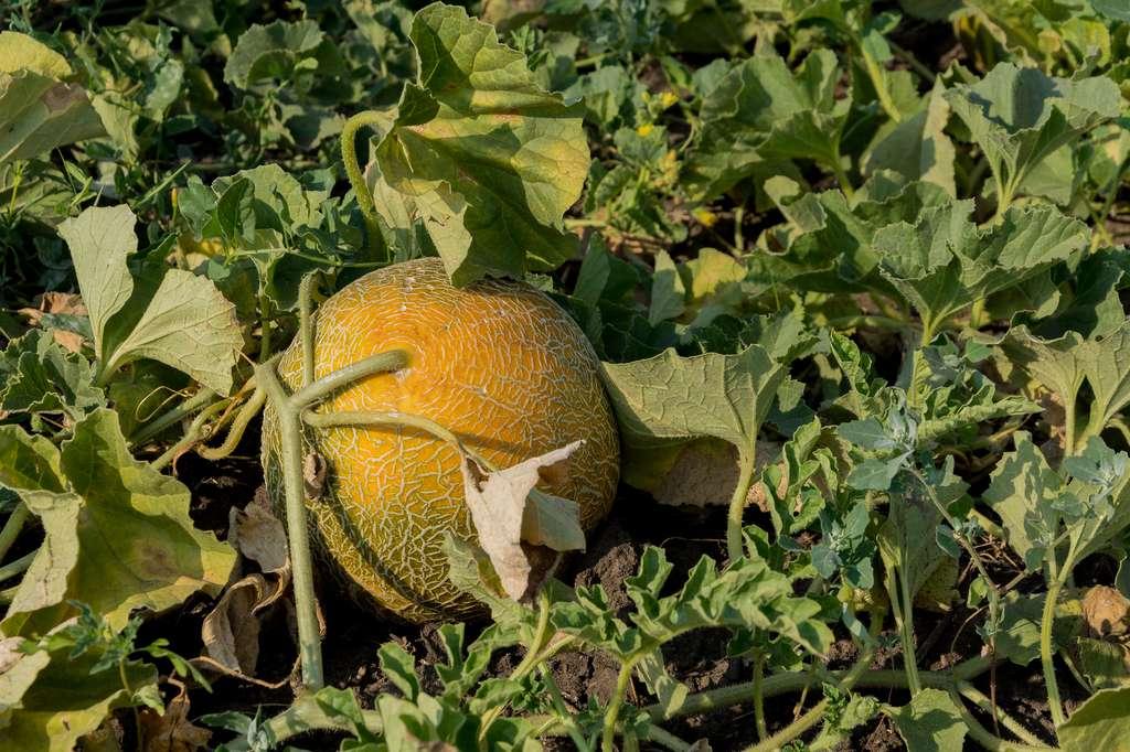 La sécheresse rend les melons plus petits. © Fordvika, Fotolia