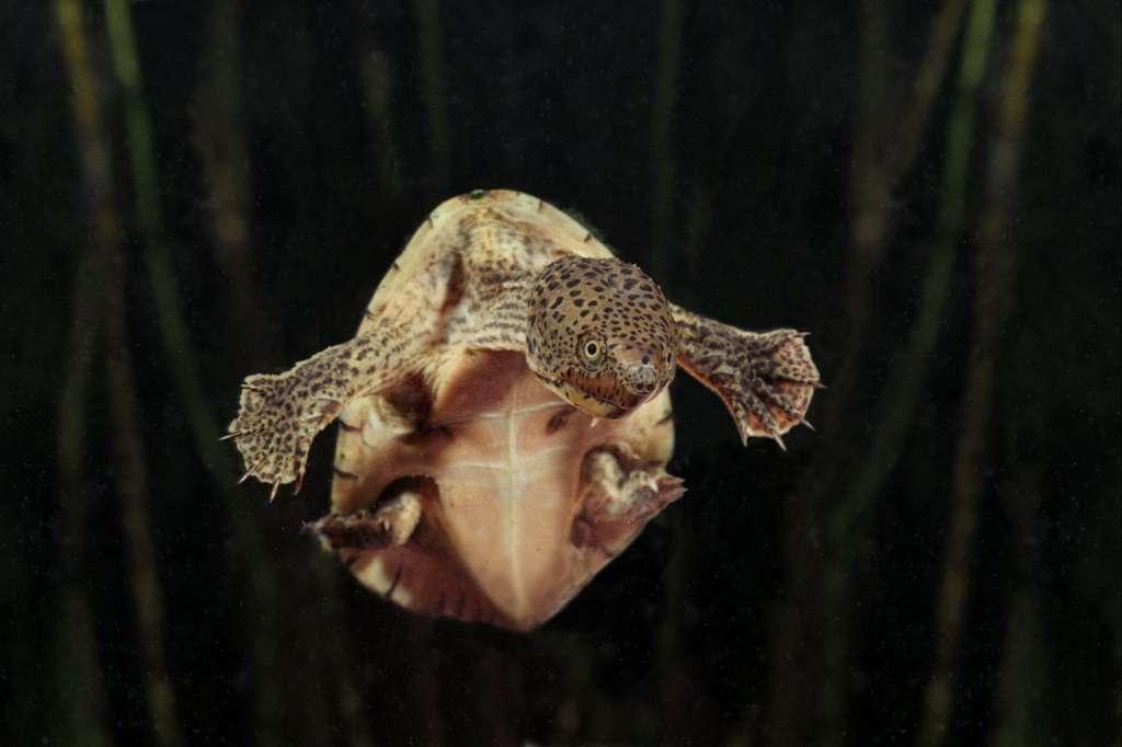 La petite tortue Sternotherus carinatus, qui vit aux États-Unis. © Marc Fermon