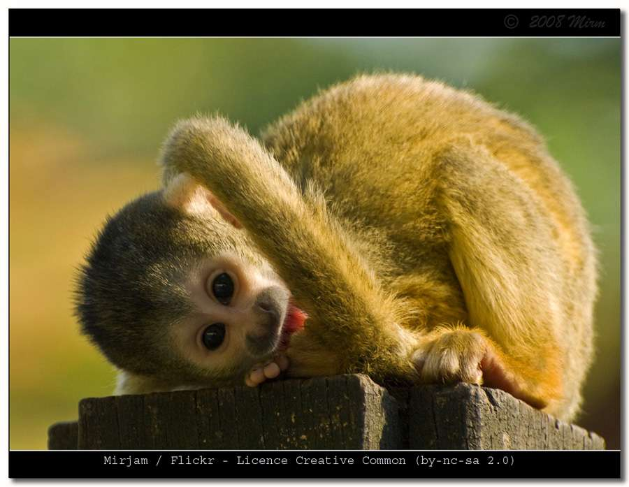 Singe écureuil - Saïmiri