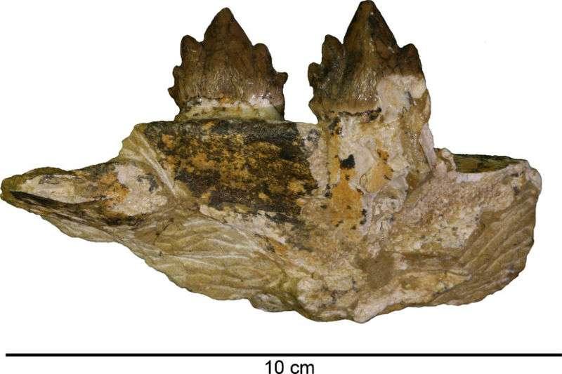 Ces dents appartiennent à l'un des mysticètes découverts le long de la California State Route 133. Son propriétaire n'a pas encore reçu de nom scientifique, mais il vient de repousser de cinq millions d'années l'époque à laquelle les derniers ætiocètes ont disparu. © John D. Cooper Archaeological and Paleontological Center, États-Unis