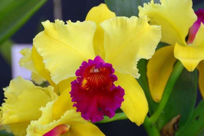Orchidée Brassolaeliocattleya