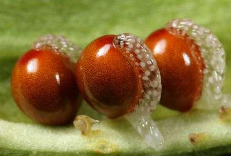 Graines à élaïosome de la sanguinaire du Canada (Sanguinaria canadensis), de la famille des papavéracées. © Cotinis, Flickr, CC by-nc-sa 2.0
