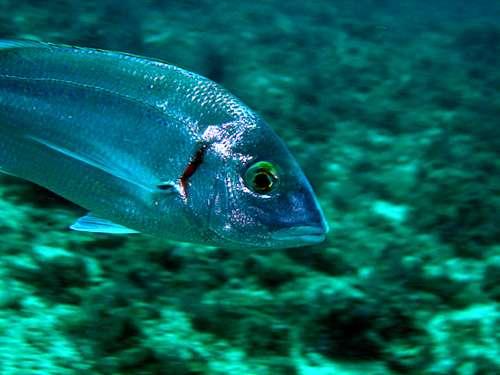 Les pageots font partie des espèces qui se multiplient bien dans les récifs artificiels. © DR