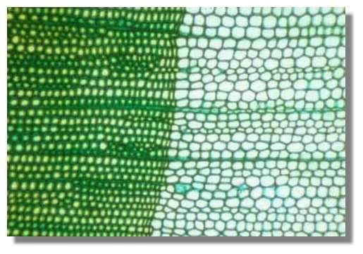 Figure 10. Coupe transversale de bois de pin à la limite de deux cernes. On distingue le bois d'été d'une année n à gauche (trachéides de faible diamètre) et le bois de printemps de l'année n+1 à droite (trachéides de fort diamètre). Les files de cellules qui traversent la coupe de gauche à droite sont les rayons. © Photo R. Prat