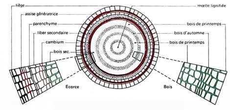 Structure d'une tige. Rameau de tilleul. © MJ
