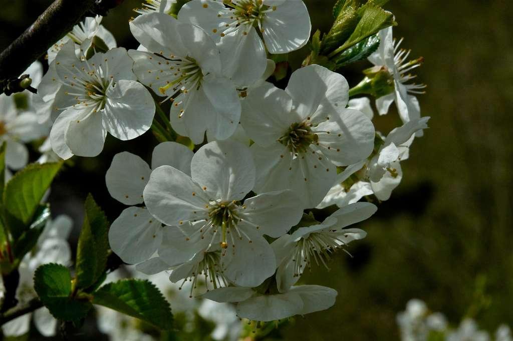 Prunus avium. © Les jardiniers du monde, Flickr CC by-NC 3.0