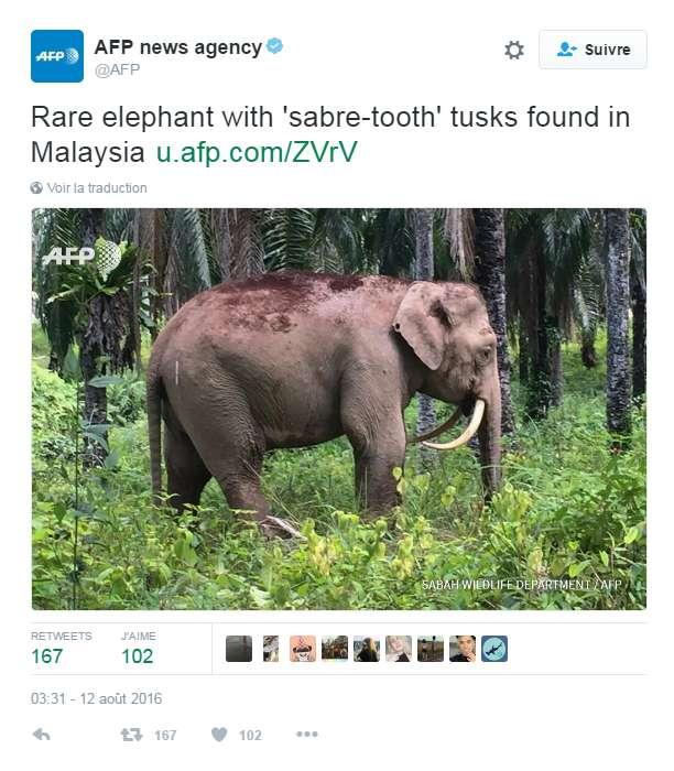 Tweet de l'AFP annonçant la découverte de cet « éléphant pygmée à dents de sabre », photographié dans une palmeraie de l'état de Sabah, en Malaisie, à Bornéo, le 11 août 2016. © AFP via Twitter