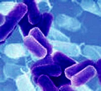 Bacilles