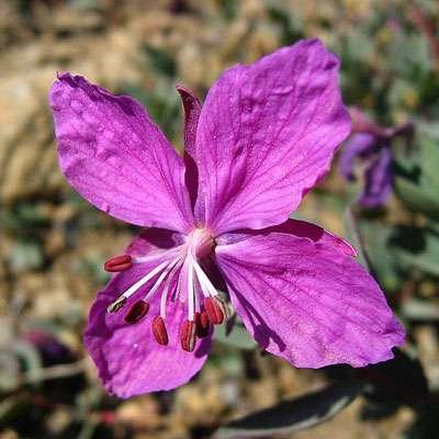 Chamerion latifolium. © Kim Hansen, Wikipédia