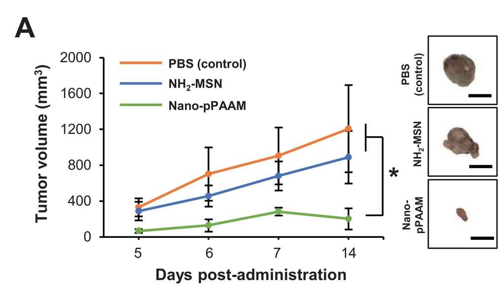 Les volumes de la tumeur à J 5, 6, 7 et 14 post-injection pour les trois groupes de souris. Celles-ci ayant reçu du PBS forment le groupe contrôle, le deuxième groupe a reçu une injection de nanoparticule seul (MSN-NH2) et le dernier groupe une injection de Nano-pPAAM. © Zhuoran Wu et al. Small
