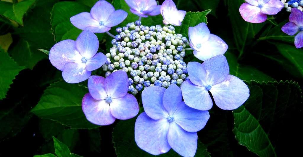 Hortensia. © Auntmasako, Pixabay, DP