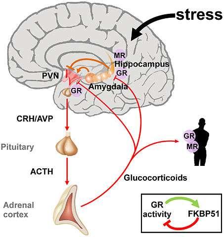 Un schéma représentant la communication entre les différentes parties de l'axe hypothalamo-hypophiso-surrénale. Les MR et GR sont situés dans l'hippocampe et l'hypothalamus (PVN). Ce dernier synthétise deux hormones : la corticolibérine (CRH) et la vasopressine (AVP) qui provoque la sécrétion de l'hormone corticotrope (ACTH) activant la sécrétion de glucocorticioides, le cortisol par les glandes surrénales. © Raabe FJ et Spengler D, Wikimédia Commons, CC