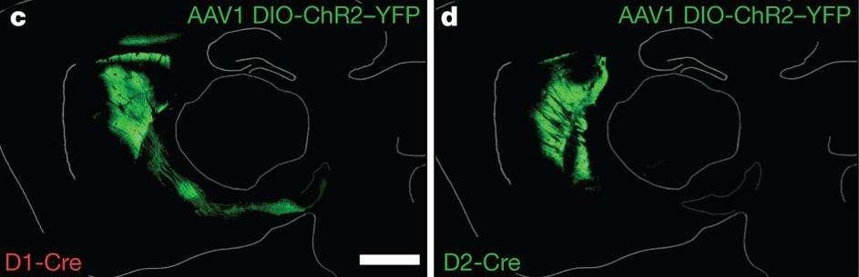 Coupes du cerveau des souris génétiquement modifiées par l'insertion du gène ChR2. A gauche, l'expression du gène (vert) dans la voie de signalisation directe, à droite dans la voie de signalisation indirecte. © Nature