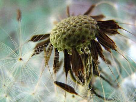 L'anémogamie permet la pollinisation par le vent. Ici des aigrettes de pissenlit sont dispersées dans les airs. © Jmdesfilhes, CC by-sa 2.5