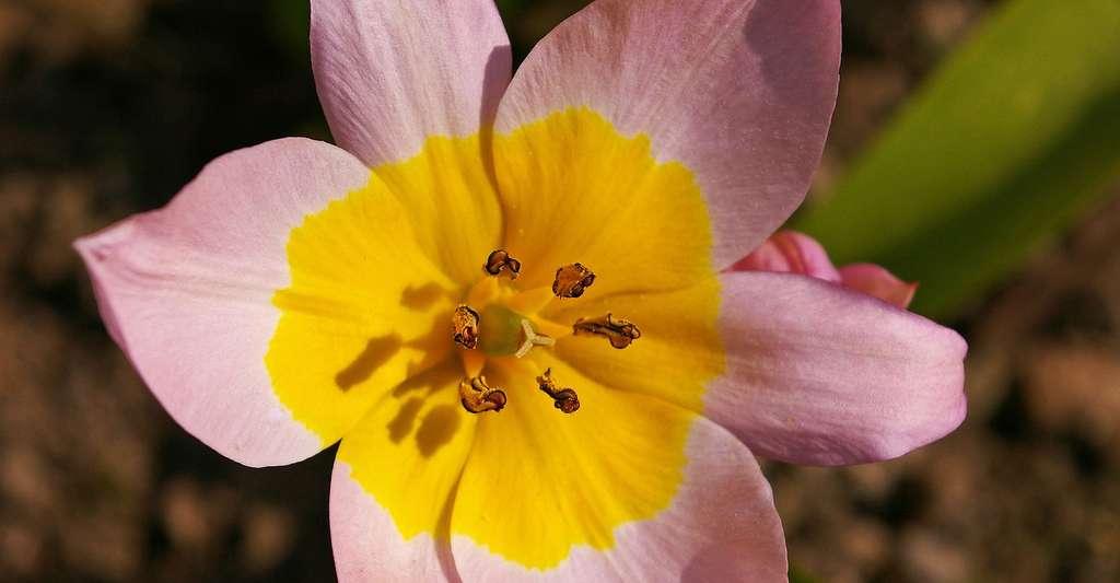 Tulipes aux mille couleurs. © KRiemer, Pixabay, DP
