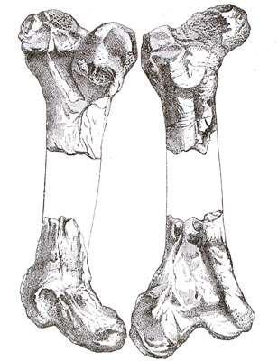 Un fémur de Gastornis découvert par Victor Lemoine dans le Paléocène des environs de Reims. © DR