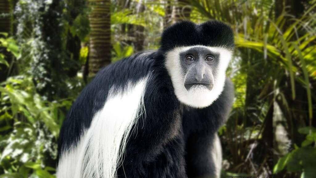Un singe sans pouce