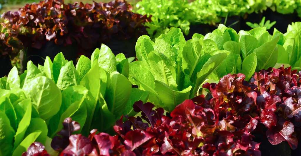 La scarole est une salade qui plaît aux jardiniers et aux gourmands mais aussi aux lapins. Ici, de jeunes scaroles de plein champ. © Onegative, Shutterstock