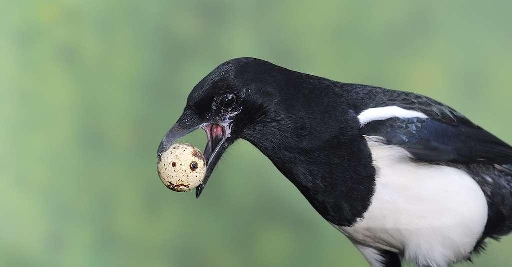 La pie peut parfois se laisser aller à voler des œufs dans un nid voisin. © Javier Castro, Fotolia